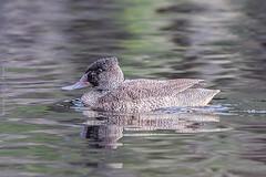 Freckled Duck Herdsman Lake WA (danny.mccreadie2) Tags: lake duck wa freckled herdsman