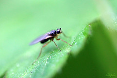 Lonchoptera lutea (Mariie76) Tags: macro nature animaux bizarre insecte verdure feuille trompe prdateur macrophotographie lutea diptre lonchoptera hybotide cyclorrhaphe lonchoptride