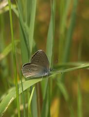 Rotklee-Bluling (w) [ Mazarine-blue ] [ ngsblvinge ] ( Polyommatus semiargus ) (ritschif) Tags: butterfly natur polyommatussemiargus rotkleebluling mazarineblue tagfalter blulinge dagfjrilar ngsblvinge