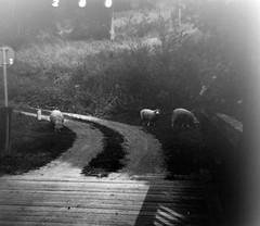 sheeps freetime (Ilathan) Tags: bw white mountain black nature animal rural way lomo lomography republic sheep czech farm meadow diana analogue tradition dianaf