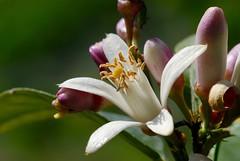 Lemon flowers (primo piano) Tags: flowers macro lemon sicily citrus