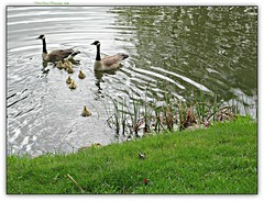 the onset of spring! (MEA Images) Tags: geese babygeese goslings spring springtime river water lake lakeside nature foxlake wisconsin canon picmonkey madison2010 chicks