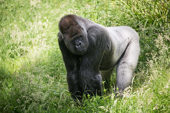 2016-06-16-12h18m56.BL7R9804 (A.J. Haverkamp) Tags: canonef100400mmf4556lisiiusmlens rotterdam zoo dierentuin blijdorp diergaardeblijdorp httpwwwdiergaardeblijdorpnl gorilla westelijkelaaglandgorilla bokito dob14031996 pobberlingermany