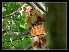 auf dem Beobachtungsposten (karin_b1966) Tags: tree nature animal garden squirrel natur garten baum tier eichhrnchen eiche 2016