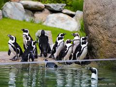 Opel Zoo Juni 2016 (onkel_01) Tags: zoo tiere panda bambi reh opel kaninchen roter hasen erdmnnchen eisfchse eisfuchs brillenpinguine