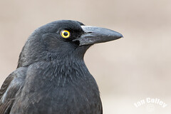 Pied Currawong (Strepera graculina) (Ian Colley Photography) Tags: portrait bird 500mm piedcurrawong streperagraculina inverell canoneos7dmarkii
