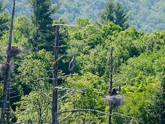 Heron nests (grongar) Tags: herons greatblueherons birds nests swamp trees vermont