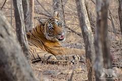 Relaxed Tigress (fascinationwildlife) Tags: park wild summer india nature animal female forest mammal asia wildlife tiger natur national predator bengal tigress ranthambhore djungle