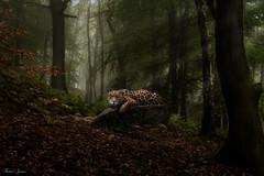 Watching (Karen James) Tags: jaguar bigcat kj forest lightandshadow lightbeams mist autumn