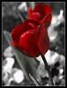 Los bulbos de invierno florecen en primavera (Rodion Quidam) Tags: red flower tallo primavera bulb garden spring rojo stem flor petal desaturation tulip bloom violeta tulipa jardín pensamiento selectivedesaturation tulp bulbo tulipán pétalo violatricolor florecer desaturación violácea violaxwittrockiana violatricolorhortensis desaturaciónselectiva mygearandme mygearandmepremium mygearandmebronze mygearandmesilver mygearandmegold dblringexcellence