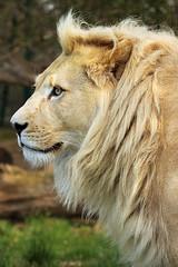White Lion Profile (TenPinPhil) Tags: white cat lion bigcat whitelion canon500d 100400l whf philipharris flickrbigcats tenpinphil