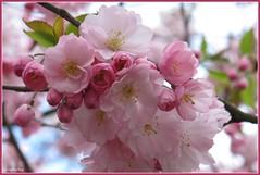 Roze lente (mefeather) Tags: city pink flowers trees colour nature bomen blossom nederland thenetherlands natuur denhaag passionflower bloesem thehague bloemen stad roze zuidholland kleur