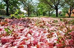 Flower Carpet (Serge Freeman) Tags: park uk pink flowers england petals spring bournville