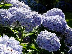 Hortênsia (Arimm) Tags: blue flower brasil purple hydrangea hortensia macrophylla fz40 arimm