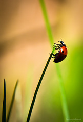 Climbing for the Sun [ShotHotspot.com] (ShotHotspot.com) Tags: sun macro nature grass bug garden climb climbing beatle ladybird ladybug grip shothotspotcom