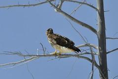 Swainson's Hawk (Buteo swainsoni) DSC1537 (NDomer73) Tags: 19april2012 april 2012 yellowstonenationalpark yellowstone bird raptor hawk swainsonshawk