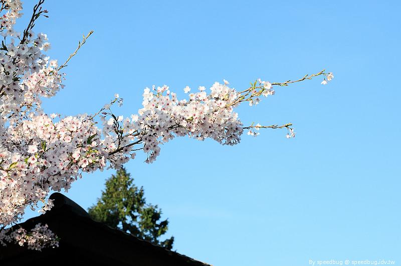 阿里山櫻花季19