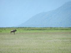 Solitary gnu (Fabio Calamosca) Tags: tanzania soft ngorongoro mondo avventure
