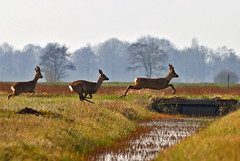 Follow the leader (Explored) (Roberto Braam) Tags: nature water netherlands field animal landscape jump nikon europa europe wildlife natuur deer explore groningen hind hert ree herten marum natuurgebied reen explored nuis westerkwartier boerakker d5100 blinkagain robertobraam
