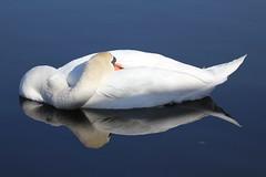 Mute Swan (KingfisherDreams) Tags: swan muteswan cygnusolor anatidae march2012 spring2012