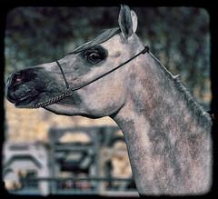 Arabian Horse Esencial (italianoadoravel ...Catching Up) Tags: brazil fab people horse sunrise wonderful landscape photo perfect colorful vivid master doorway stunning parana picturesque soe erice blueribbon trapani onblue smrgsbord cubism bestpic fpc blueribbonwinner singintheblues supershot flickrsbest passionphotography fineartphotos mywinner bigfave platinumphoto anawesomeshot impressedbeauty aplusphoto superbmasterpiece travelerphotos diamondclassphotographer flickrdiamond masterpic excellentphotographerawards superlativas theunforgettablepictures onlythebestare thatsclassy overtheexcellence colourartaward wonderfulworldmix picturefantastic bette