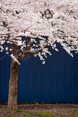 Sakura tree in front of a blue barn (Out of Focus [sic]) Tags: tree japan barn cherry spring blossom sakura kotoura