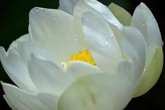 Pure lotus (Deb Jones1) Tags: white flower macro nature beauty canon garden botanical outdoors flora lotus blooms flickrawards debjones1