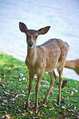 Sika Doe At Lakeside (aeschylus18917) Tags: nature thailand zoo nikon wildlife doe deer thai chiangmai nightsafari  cervidae  artiodactyla  sikadeer spotteddeer 200400mm 200400mmf4gvr chiangmainightsafari d700 cervinae  ratchaanachakthai nikond700  danielruyle aeschylus18917 danruyle druyle   200400mmf40gvr  cervisnippon
