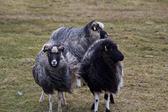 Faroese Sheep, Faroe Islands. (tollakur) Tags: sheep faroeislands sandoy seyur