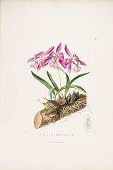 n85_w1150 (BioDivLibrary) Tags: guatemala mexico orchidaceae plants missouribotanicalgardenpeterhravenlibrary bhl:page=769201 dc:identifier=httpbiodiversitylibraryorgpage769201 taxonomy:binomial=laeliaspeciosa womeninscience artist:name=augustainneswithers artist:viaf=95819243 augustainneswithers q2870951 illustrator:wikidata=q2870951 hernaturalhistory