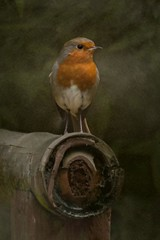 robin sitting on bamboo (gruntpig) Tags: red wild bird texture robin stand wings legs creature redbreast perchbamboo