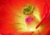 Heart of the Flower (ScenicSW) Tags: arizona cactus southwest colorful desert tucson sonorandesert desertflower tucsonarizona claretcup cactusflower desertsouthwest cactusbloom desertblooms desertcactus desertbeauty artlegacy scenicsw virtualjourney rainbowelite