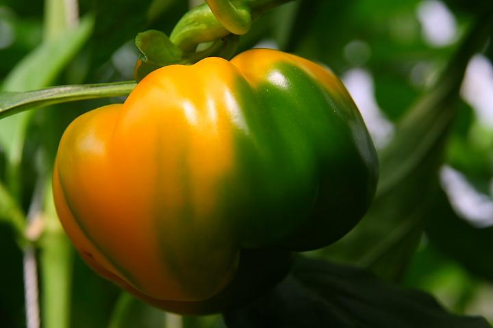 金勇蕃茄休閒農場003
