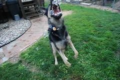 DSC_6398 (aerofan245) Tags: birthday party dog 3 shepherd sage german superhero batman batdog gsd