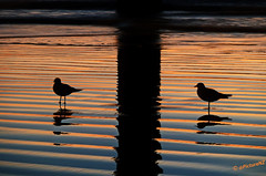 In the Shadow of the Pier (Steve Taylor (Photography)) Tags: sunrise dawn reflection silhouette beach low tide waves pier pacific ocean sea orange blue black gulls seagulls under lines ripples newbrighton christchurch canterbury southisland nz newzealand daybreak sunup stevetaylor