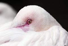 Flamingo (Daniel Wildi Photography) Tags: pink bird eye nature animal zoo switzerland flamingo bern tierpark 2012 publiczoo cantonofbern danielwildiphotography