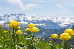 Spring in the lower Rhône alpine valley (Elysium 2010) Tags: flowers mountain mountains landscape spring rhône valais dentsdumidi chablais trolliuseuropeus