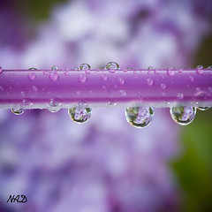 Lilas (Colore-arte) Tags: flowers flores color colour reflection primavera drops spring bokeh gotas desenfoque reflejo lilacs lilas blinkagain