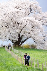 The Great Cherry Tree (jasohill) Tags: city pink flowers people tree japan cherry japanese looking great backgrounds 日本 自然 岩手県 matsuo 2012 hachimantai 春 松尾 一本桜 mygearandme