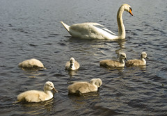Family Outing (amythyst_lake) Tags: family baby water spring swan massachusetts cygnet melrose ellpond