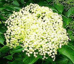 dscn0258 (Aldo433) Tags: flowers italy alberi italia natura fiori prato abruzzo ortona fioredisambuco