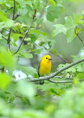 Prothonatory warbler - Bourne, MA