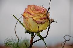 una rosa per S. Rita (solonanda non c' pi) Tags: flowers sky nature drops rosa natura cielo fiori gocce masterphotos artisticflowers takenwithlove artistsoftheyear ilroseto mindigtopponalwaysontop thegoldenachievement goldenachievement