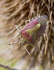 IMG_0099 Sloe Bug (Dolycoris baccarum), Brandon Marsh, Warwickshire 22May12 (Lathers) Tags: brandon warwickshire nbw dolycorisbaccarum sloebug brandonmarsh canon7d wildinthemidlands wkwt canonef100f28lismacro 22may12