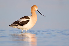 Early Morning Avocet (Jeff Dyck) Tags: birds manitoba american stonewall marsh wading stilt americanavocet oakhammockmarsh avocet recurvirostraamericana jeffdyck oakhammock