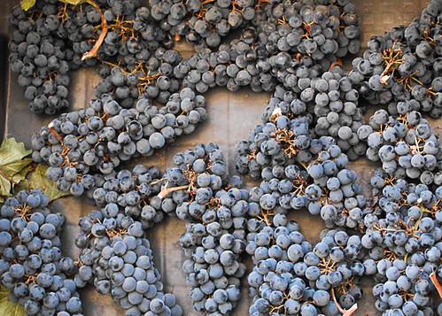 <p>Carmenere, the signature grape of Chile. Malbec is Argentina's homologue. </p>