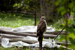 Cooper's Hawk and fallen tipi