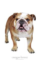 The Bully (Megan Lorenz) Tags: dog pets studio canine whitebackground getty englishbulldog breed bully rambo isolated 2yearsold clientsession mlorenz meganlorenz