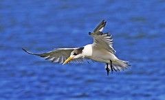 Fairy Tern : About to land . . . (Clement Tang ** Busy **) Tags: nature inflight wildlife australia victoria avian seabird birdwatcher stkildabeach portphillipbay bluesea autumnmorning closetonature fairytern sternanereis concordians