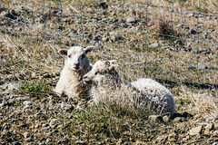 Sheep and lamb laying low. (I.Mjll) Tags: landscape spring tn 2012fkus vorfer2012lmb